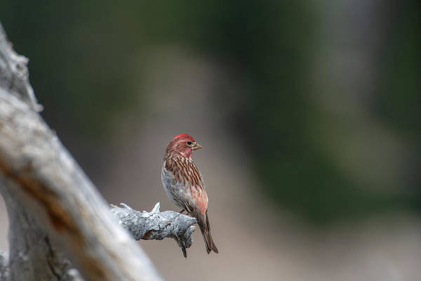 Photograph - Cassin's Finch by Ken Dietz