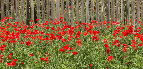 Photograph - Castro Poppies Along The Fence by Teresa Wilson