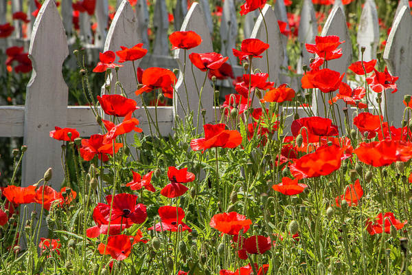 Photograph - Castro Poppies Along White Picket Fence by Teresa Wilson