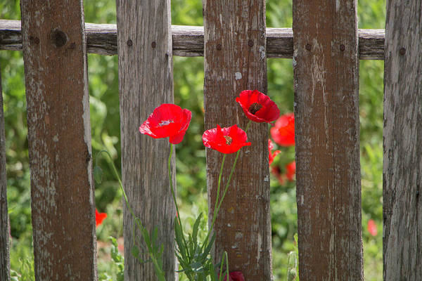 Photograph - Castro Poppies By Weathered Fence by Teresa Wilson