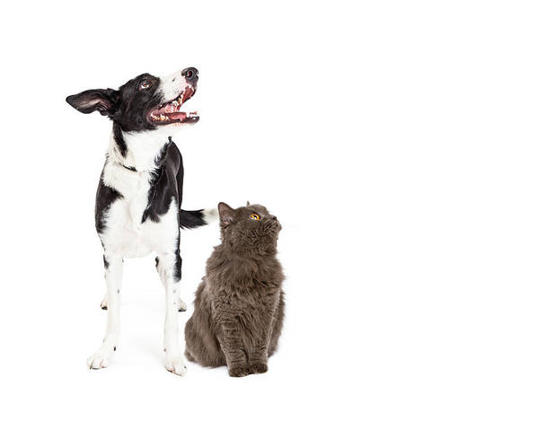 Big Dog Photograph - Cat And Dog Looking Up Into Blank Copy Space by Susan Schmitz