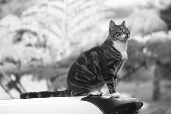 Photograph - Cat In Black And White by Pamela Walton