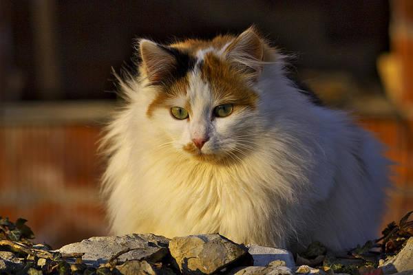 Photograph - Cat by Ivan Slosar