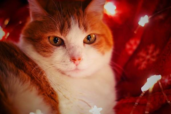 Christmass Photograph - Cat Lumiere V.star by Kirstie Thomas