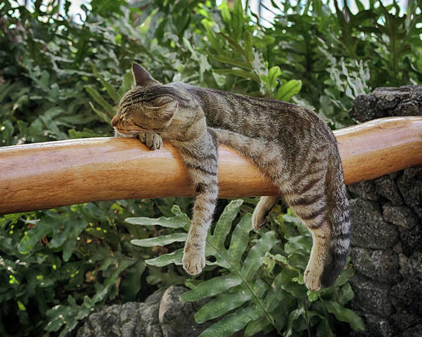 Photograph - Cat Napping by Susan Rissi Tregoning