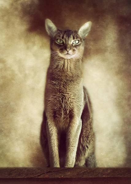 Red Wolf Photograph - Abyssinian Cat Portrait 3 by Wolf Shadow Photography