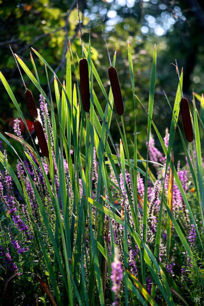 Photograph - Cat Tails In The Morning by John Meader