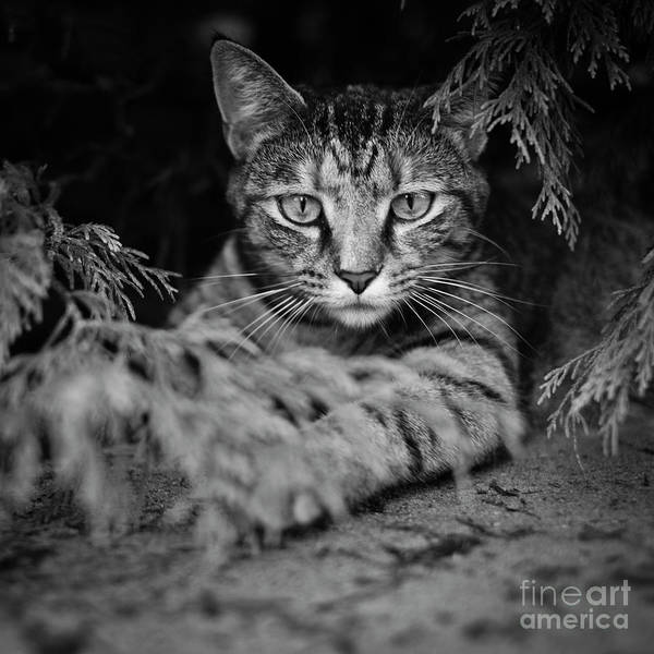 Photograph - Cat Under Bush by Patrick M Lynch