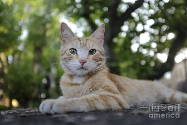 Photograph - Cat Volterra Italy by Edward Fielding
