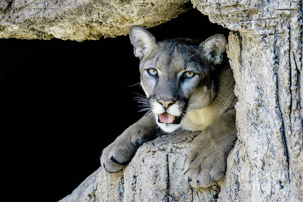Puma Photograph - Catamount by DiFigiano Photography