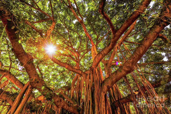 Photograph - Catch A Sunbeam Under The Banyan Tree by D Davila