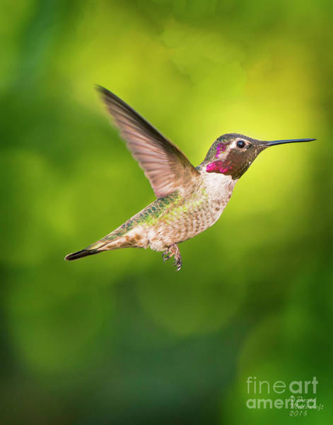 Photograph - Hummingbird Catching Air Large Canvas Art, Canvas Print, Large Art, Large Wall Decor, Home Decor by David Millenheft