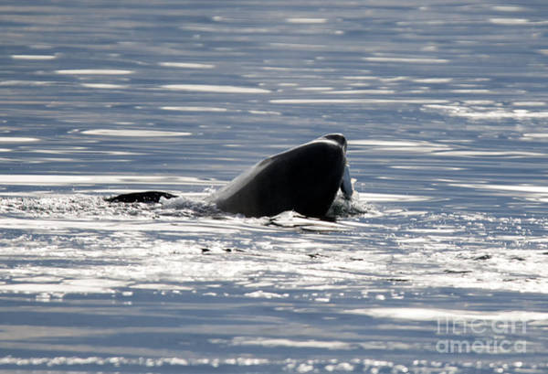 Killer Whales Wall Art - Photograph - Catching Dinner by Mike Dawson