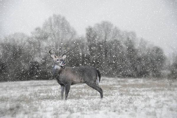 Photograph - Catching Snow Flakes Deer Art by Jai Johnson
