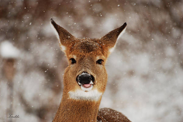 Photograph - Catching Snowflakes by Lori Tambakis