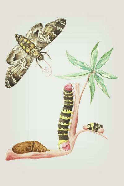 Mixed Media - Caterpillar On Cassava And Turns Into A Moth In Four Weeks By Cornelis Markee 1763 by Cornelis Markee