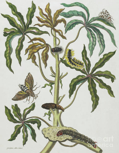 Wall Art - Painting - Caterpillars And Insects With Foliage by Maria Sibylla Graff Merian