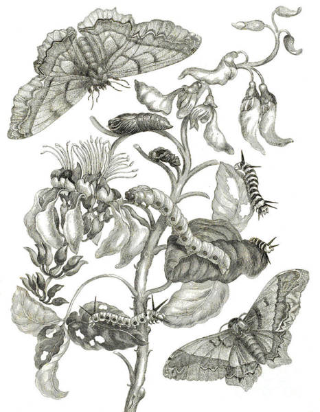 Butterfly Drawing - Caterpillars, Butterflies, And Flower by Maria Sibylla Graff Merian