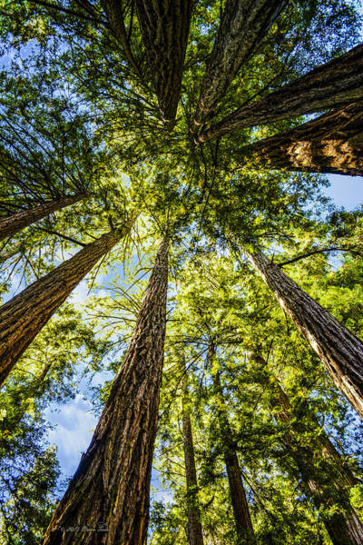 Photograph - Cathedral Grove At Muir Woods by Brian Tada