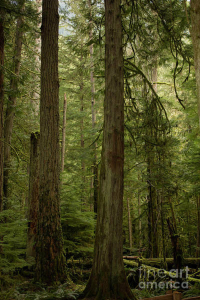 Photograph - Cathedral Grove by Donna L Munro