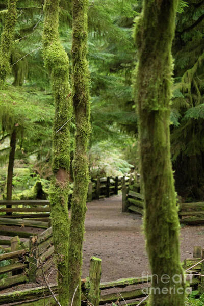 Photograph - Cathedral Grove Path 1 by Donna L Munro