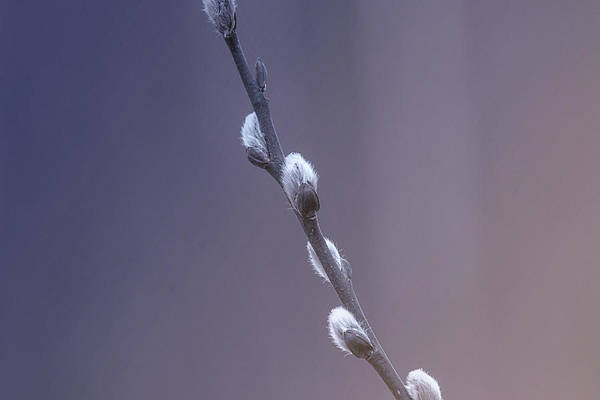 Wall Art - Photograph - Catkins Emerge by Susan Capuano
