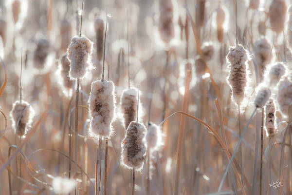 Photograph - Cattail Light 1 by Leland D Howard