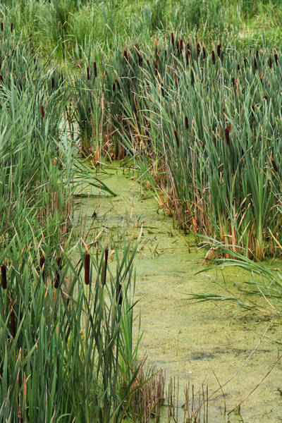 Photograph - Cattails Along A Stream by William Selander