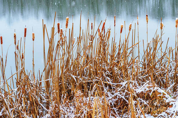 Photograph - Cattails And Snow by Thomas R Fletcher
