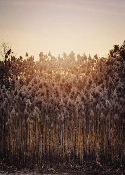 Photograph - Cattails At Dusk by Heather Applegate