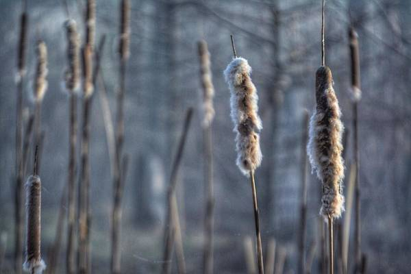 Cattails In The Winter Art Print
