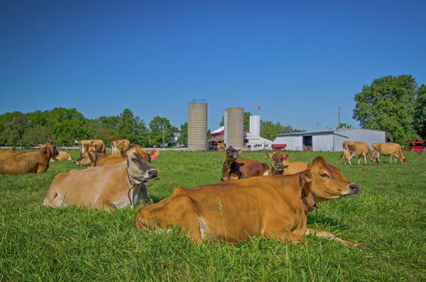 Milk Farm Restaurant Photograph - Cattle At Young's Jersey Dairy, Yellow Springs, Ohio by Ina Kratzsch