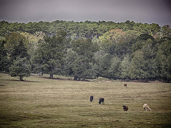 Photograph - Cattle Grazing by Charles McKelroy