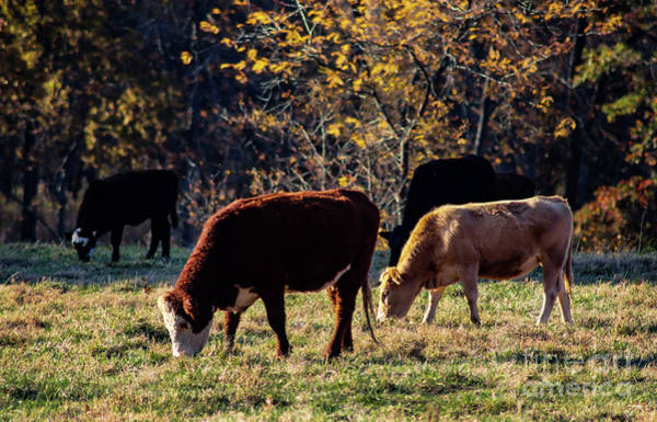 Photograph - Cattle Grazing In Sunlight  by Susan Vineyard