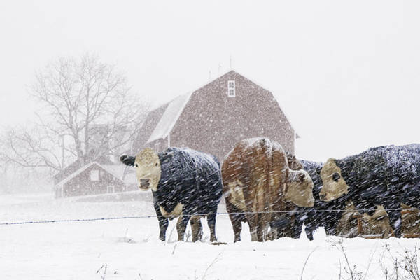 Photograph - Cattle Herd By The Barn During A Snowstorm by Randall Nyhof