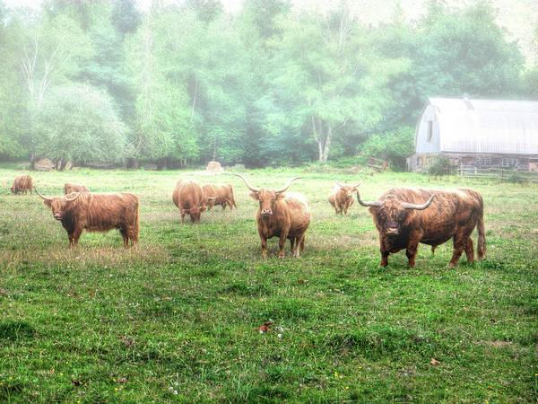Cattle In The Mist Art Print
