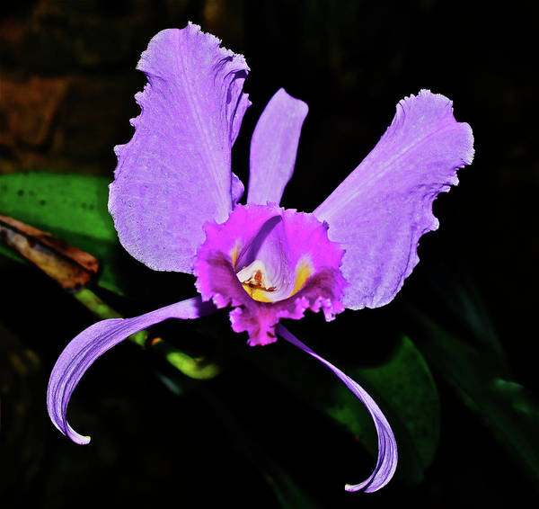 Photograph - Cattleya Orchid Solo by Janis Nussbaum Senungetuk