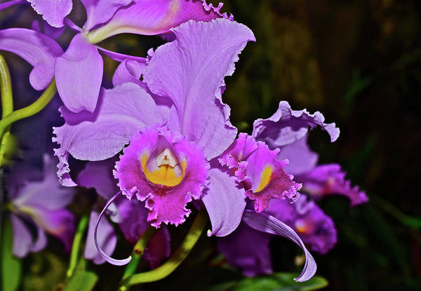 Photograph - Cattleya Orchids Close-up by Janis Nussbaum Senungetuk