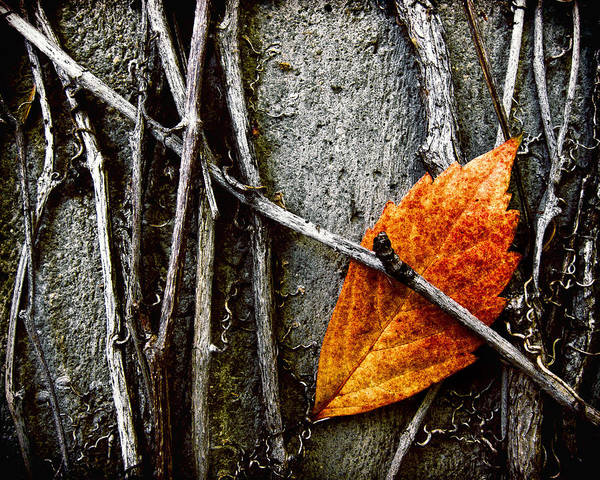 Single Leaf Wall Art - Photograph - Caught by Humboldt Street