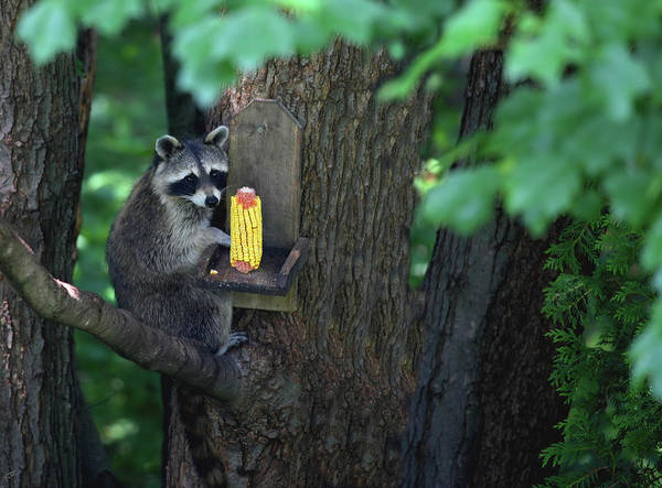 Raccoon Photograph - Caught In The Act by Karol Livote