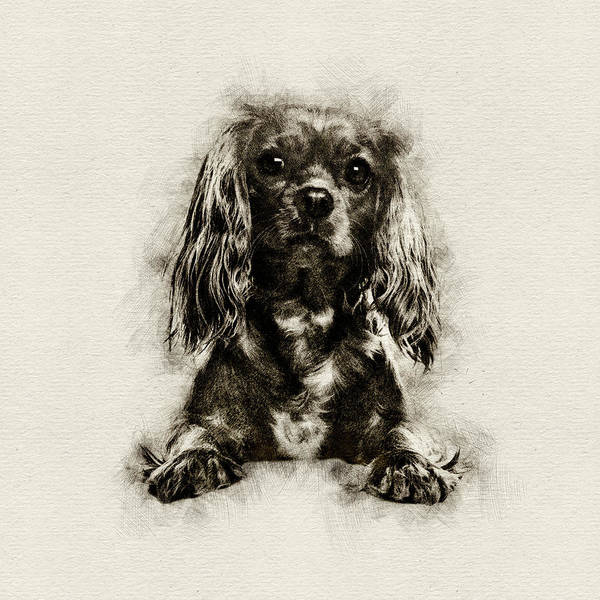 Blenheim Digital Art - Cavalier King Charles Spaniel Puppy Sketch by Creativemotions