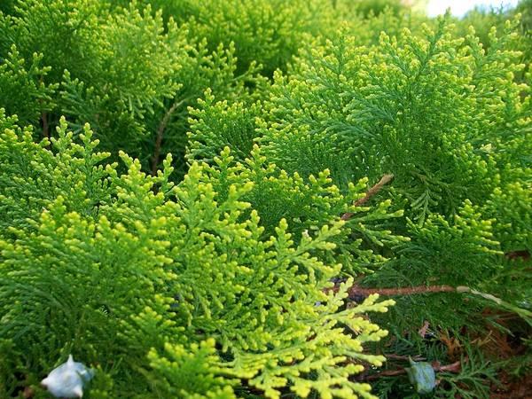 Photograph - Cedar Branches by Sharon Duguay