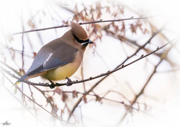 Photograph - Cedar Waxwing 02 by Philip Rispin