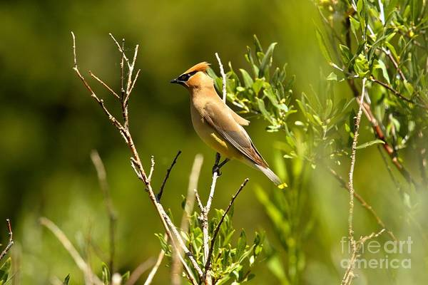 Photograph - Cedar Waxwing At Glacier by Adam Jewell