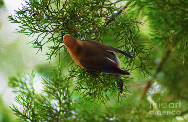 Digital Art - Cedar Waxwing Beauties 1 by Kim Pate