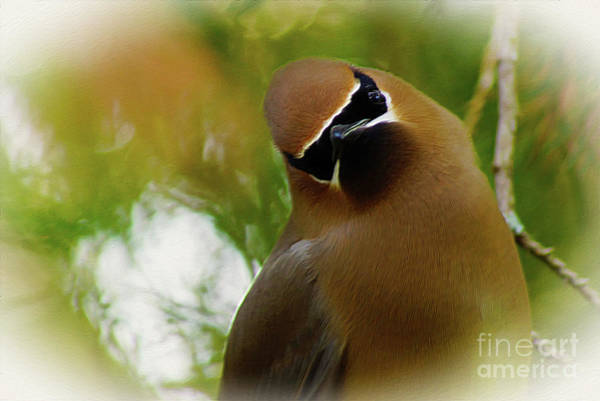 Digital Art - Cedar Waxwing Beauties 12 by Kim Pate