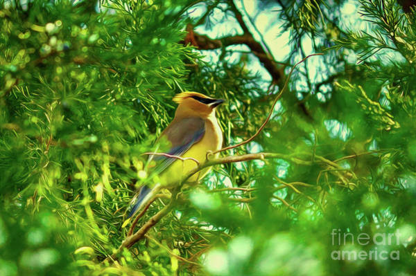 Digital Art - Cedar Waxwing Beauties 15 by Kim Pate