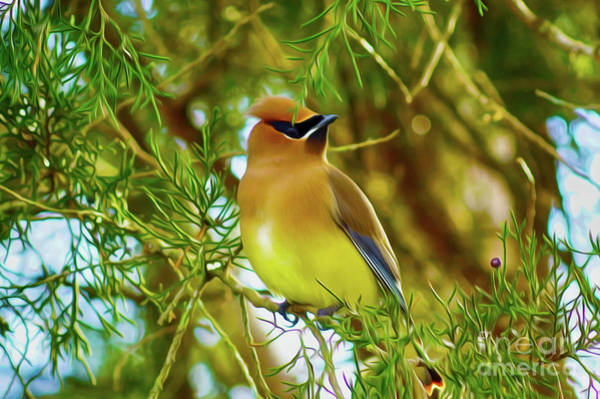 Digital Art - Cedar Waxwing Beauties 17 by Kim Pate