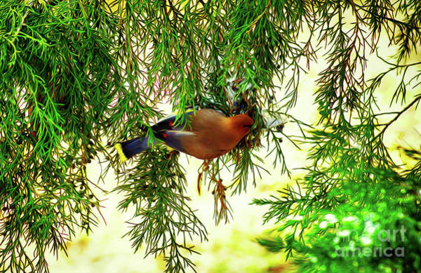 Digital Art - Cedar Waxwing Beauties 19 by Kim Pate