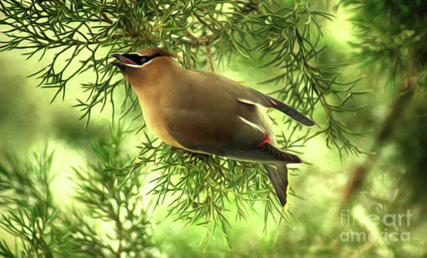 Digital Art - Cedar Waxwing Beauties 2 by Kim Pate